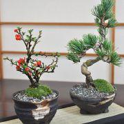 ペアセット 長寿梅と五葉松の盆栽