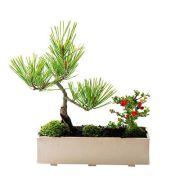 モダン盆栽 シンプルライフシリーズ L 黒松 長寿梅 寄せ植え