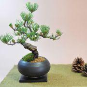 枝ぶりの良い五葉松の盆栽 丸和鉢仕立て